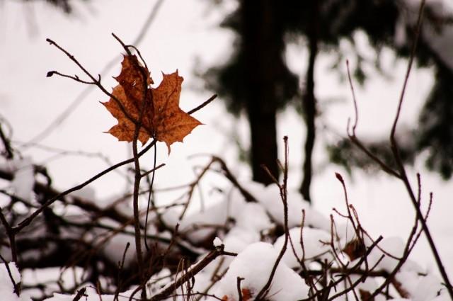 Jesienny samotnik, zimową porą.