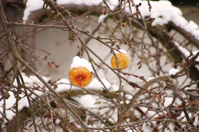 Jesienne jabłka, zimą zakonserwowane, wiosną będą jak znalazł!